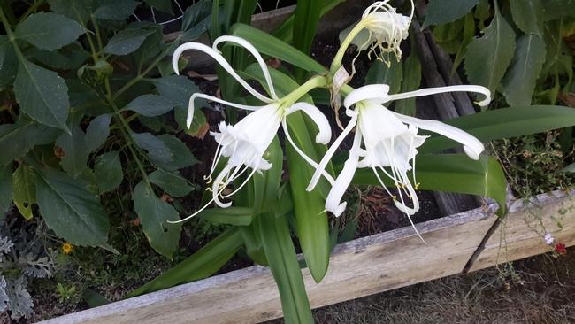 Peruvian Daffodil pic