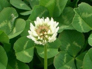 white-clover-1-1375610