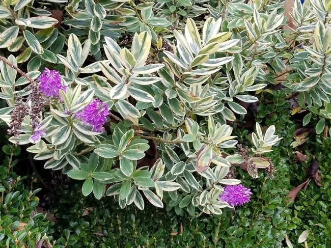 Pattys Purple Variegated Hebe (singing gardens nursery.com)