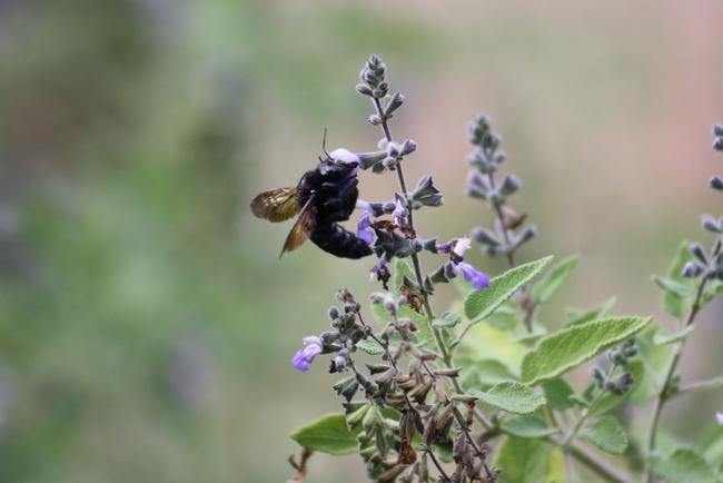 Carpenter bee female.