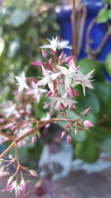 Star-like flowers.