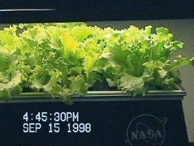 NASA-Aeroponics Lettuce Photo by Richard Stoner II