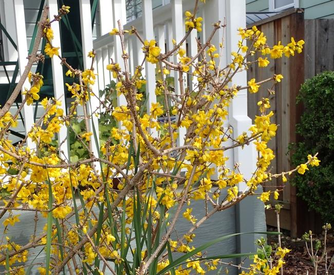Forsythia blossoms closeup.