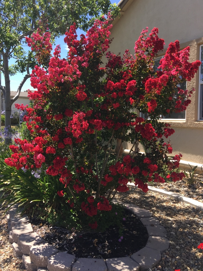 Red Crape Myrtle full