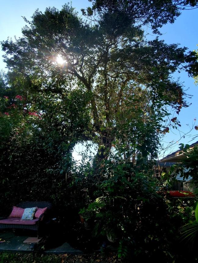 Our Backyard Oak Tree, photos by Al Alvarado