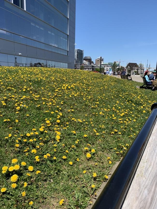 lots of dandelions