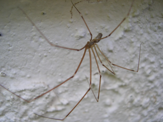 Daddy-Long-Legs spider legs