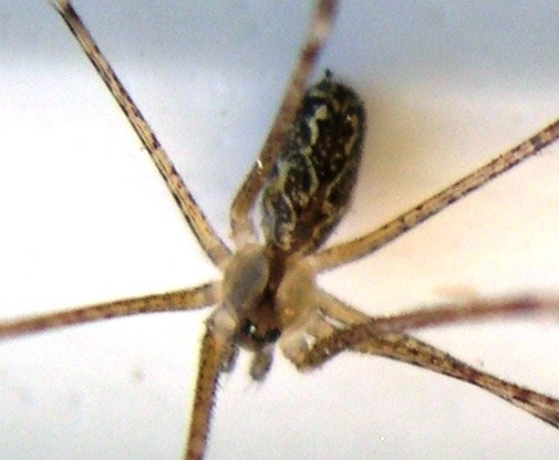 Marbled cellar spider MAGNIFIED