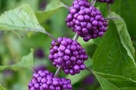 beauty berry bush
