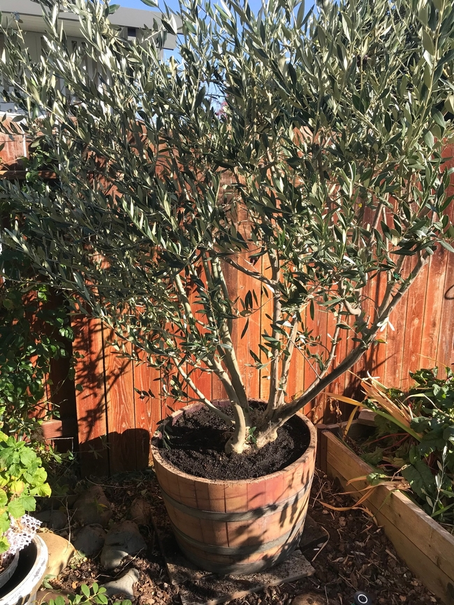 olive 4