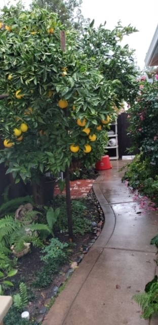 Orange tree in side yard. photos by Launa Herrmann