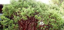 Arctostaphylos manzanita DrHurd for Under the Solano Sun Blog