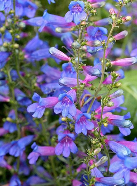 Penstemon heterophyllus Blue Springs Flower