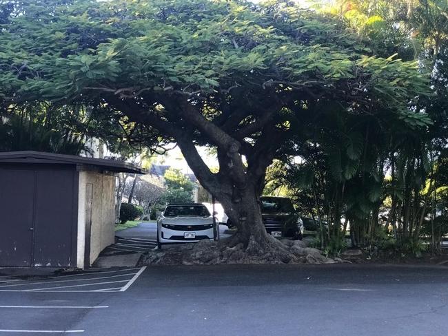 tree maui