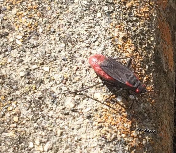 Red Shouldered Bug Preg
