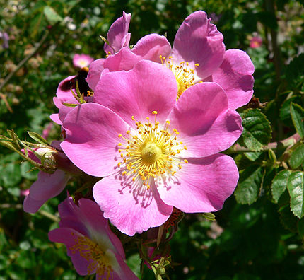 Rose Wild Sweetbriar