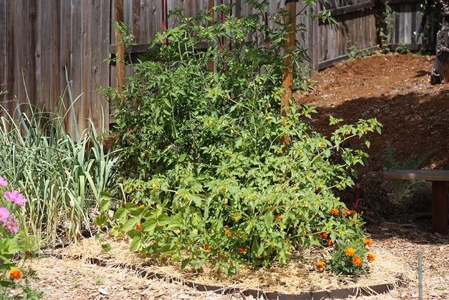 Full tomato plot