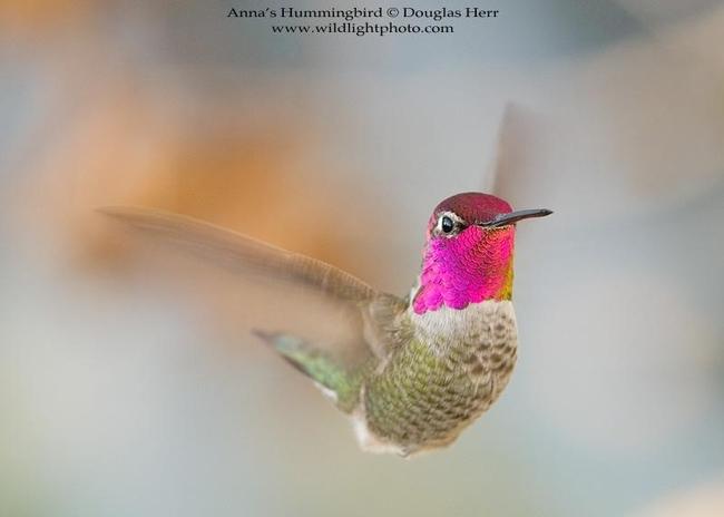 Douglas Herr - Anna's Hummingbird@Douglas Herr