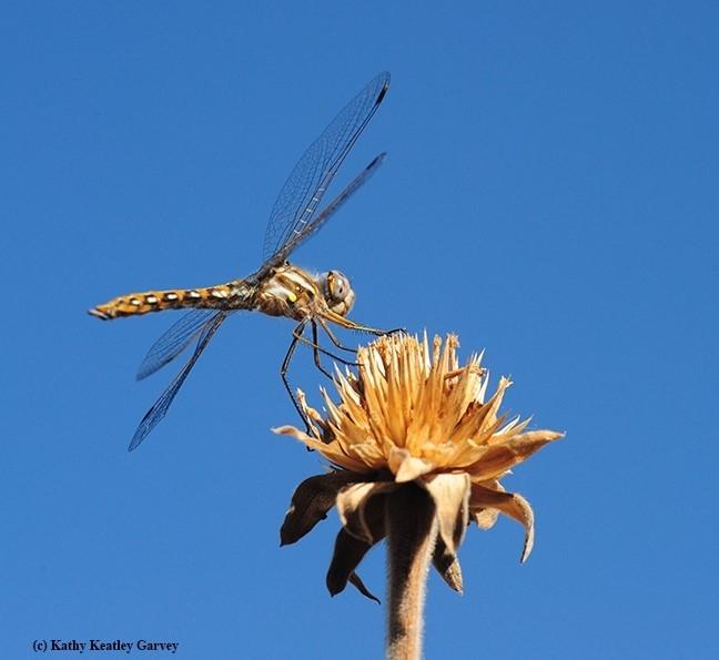 Dragonfly Photo by Kathy Keatley Garvey