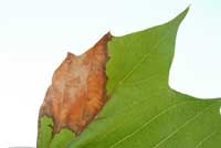 Anthracnose on Sycamore leaf. photos from UC IPM website