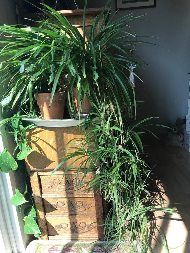 Spider plant indoors. (photos by Karen Metz)