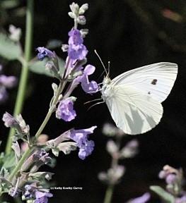 Acmon Blue Butterfly (photos by Kathy Keatley Garvey)