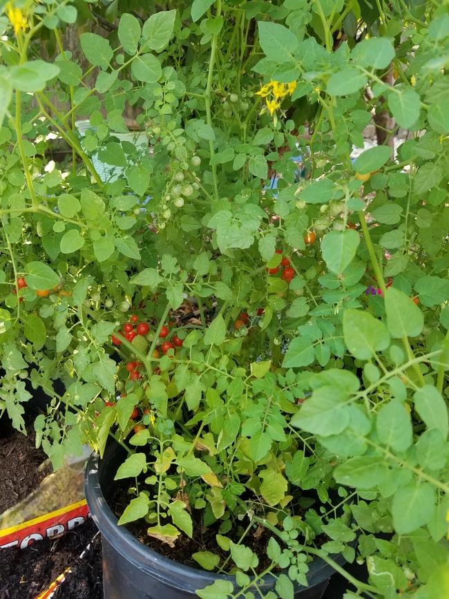 Currant Tomato Bush (P Brantley)