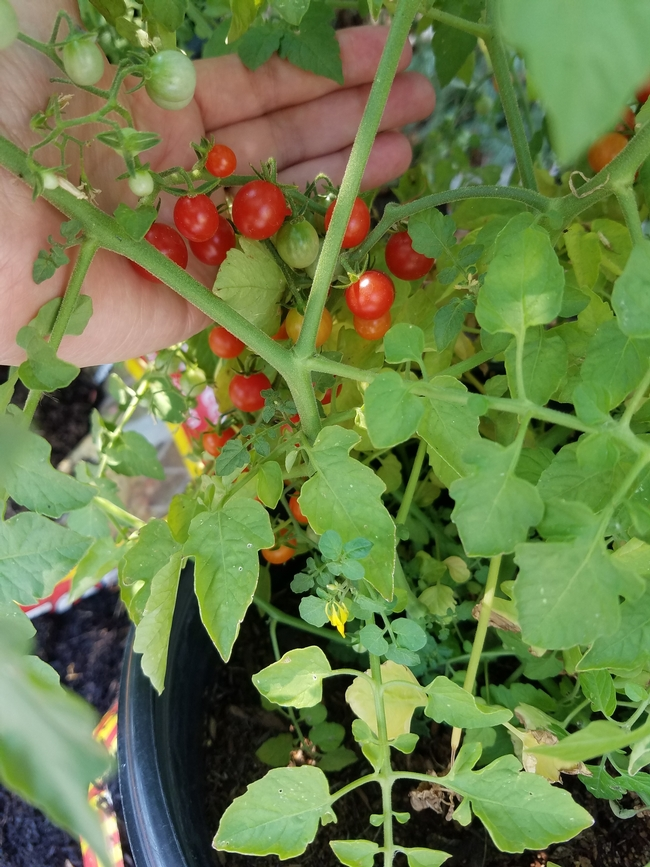 Currant Tomato Picture with hand  for scale  by P Brantley