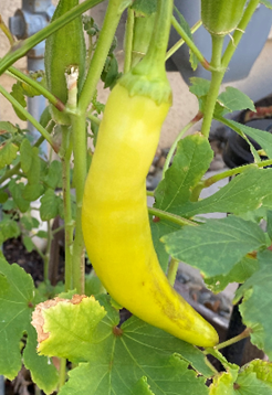 Banana Pepper Hanging out with Okra (photo by David Bellamy)