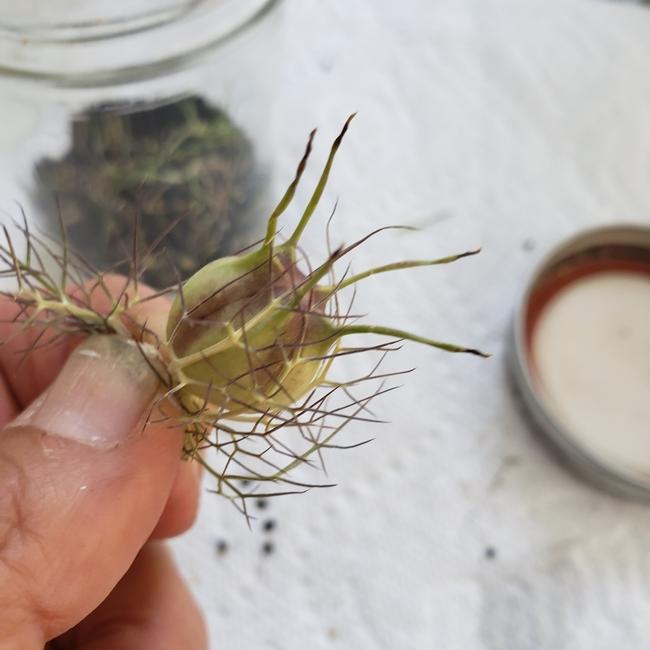 Nigella seed head. Photos by Nancy Forrest