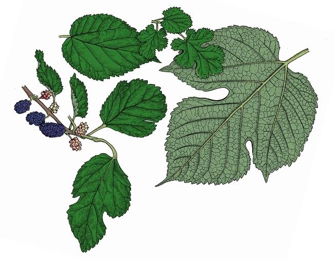 White Mulberry Morus alba