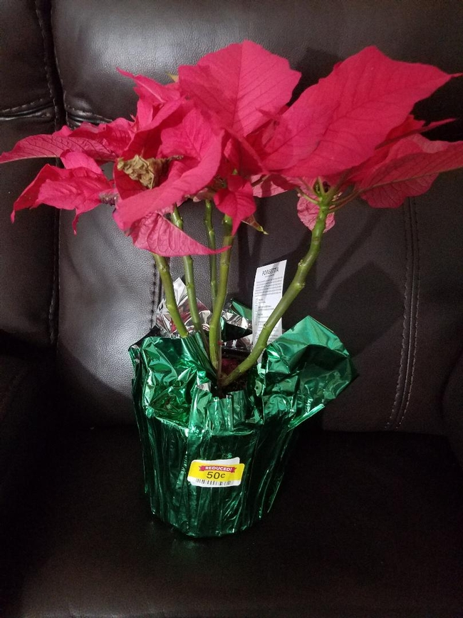 Pink Poinsettia clearance