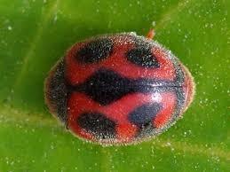 vedalia beetle