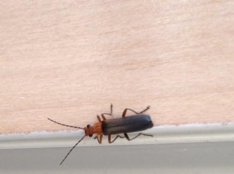 Soilder Beetle