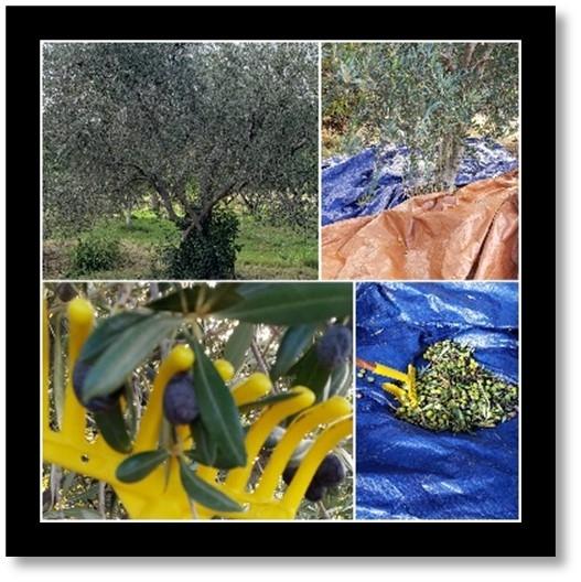 olive blog pic nforrest