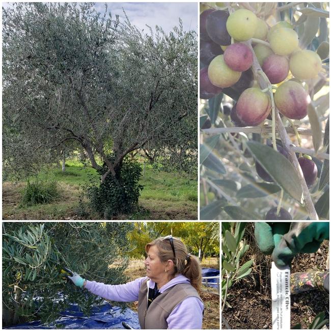 olive blog 2 nforrest