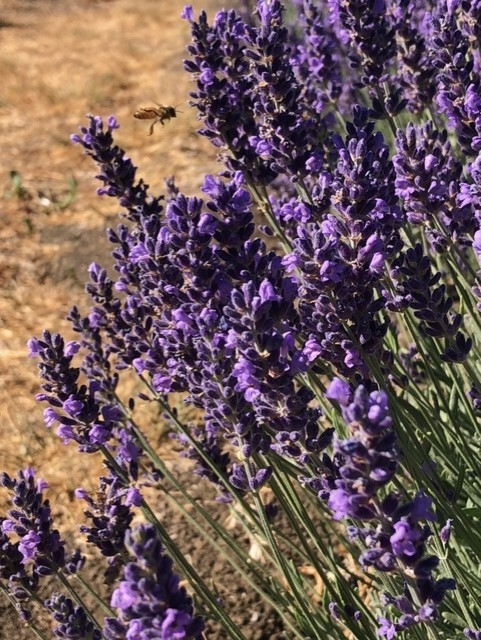 Lavender photo by Torie Kury