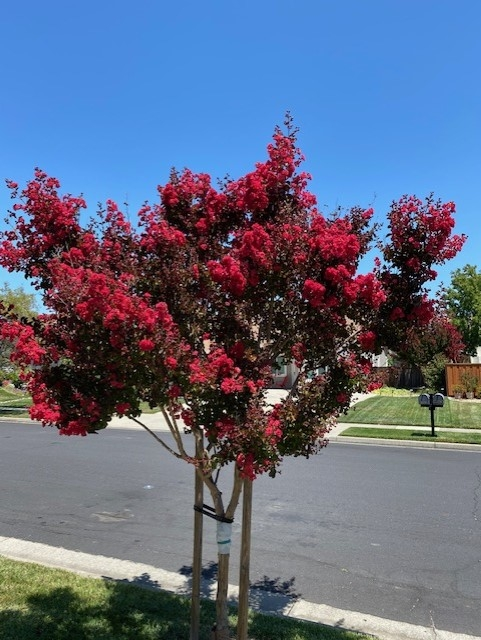 Crepe myrtle. photo by Mike Gunther