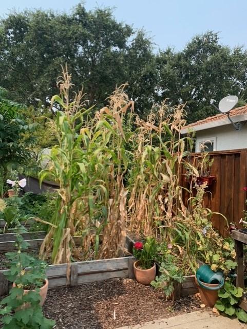 Corn stalks. photos by Kathy Gunther