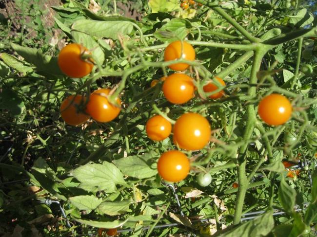 orange-yellow cherry tomatoes on the vine