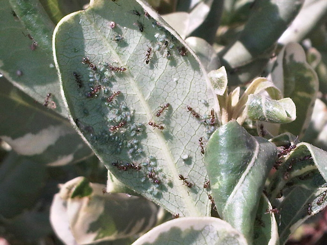 bluish aphids are being tended to by ants who feed on their excrement, called honeydew