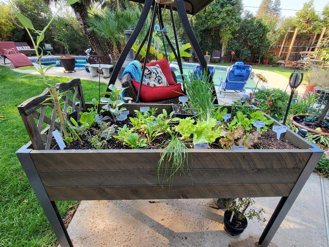 Winter Lettuce & Spinach Garden - photos by Paula Pashby