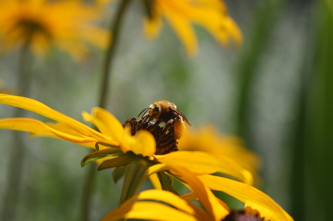 male bee on top of a flower called Black eyed Susan.