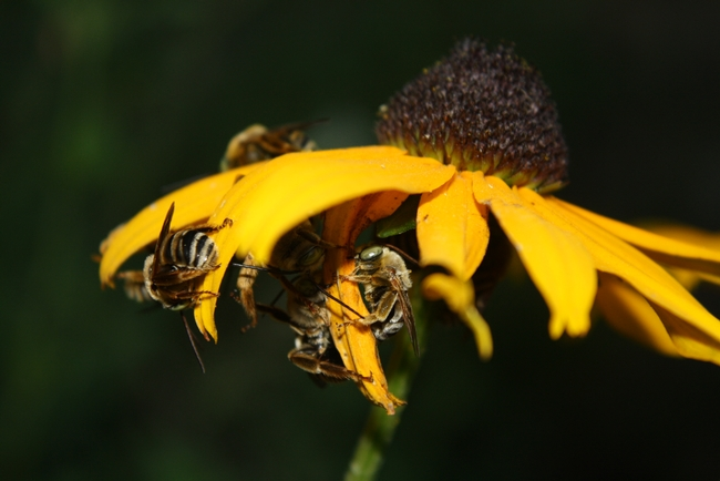 bees clinging to the underside of a flower