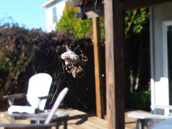 spider in her web with her catch of the day.