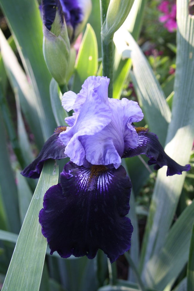 lavender and dark purple iris
