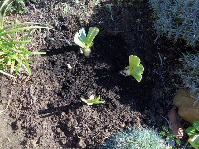 iris in ground