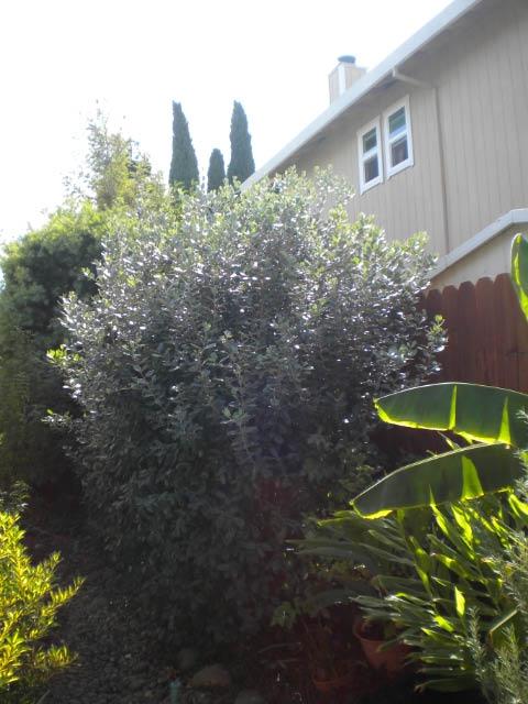 grey green pineapple guava shrub