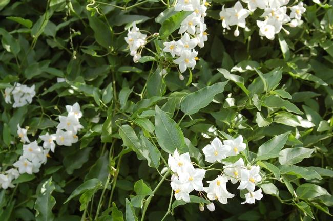 white flowers of white potato vine