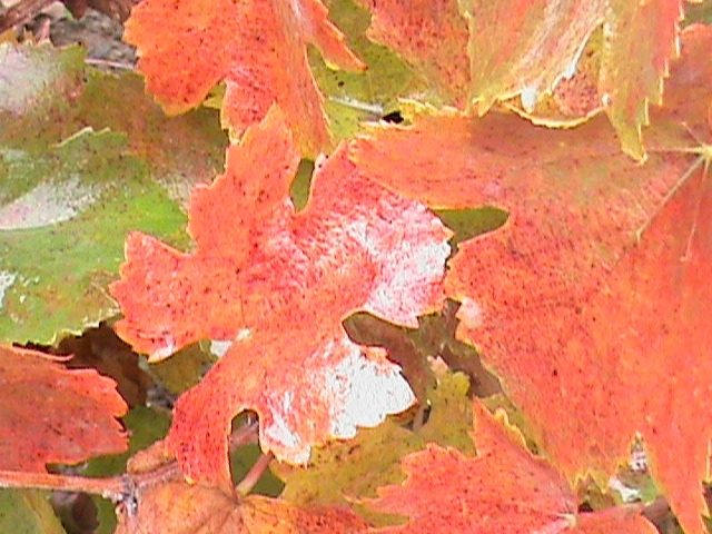 yellow, orange and red grape leaves